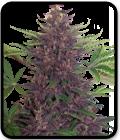 Purple Kush Auto
