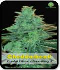 Cheddarhead