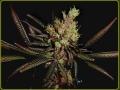 G13 Haze x Amythyst Bud