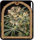 Hippie Therapy CBD