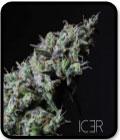 SALE - Icer - R-Kiem Seeds