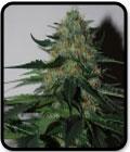 Pineapplegum